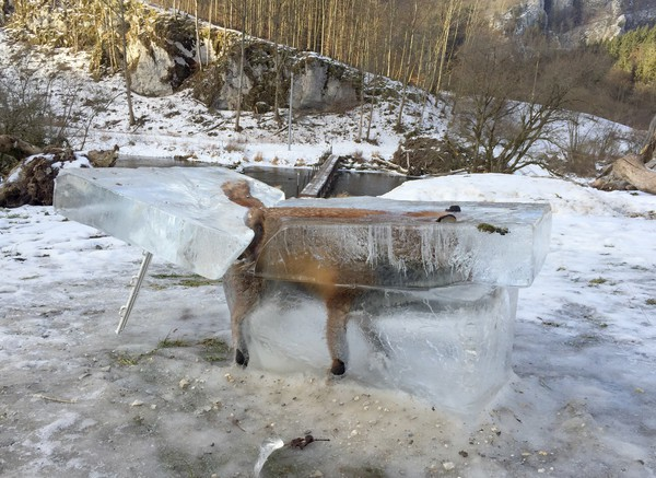 Fuchs in Donau eingefroren