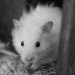 Hamster_150